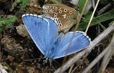 Adonis Blue first recorded at The Butterfly Haven in 2010