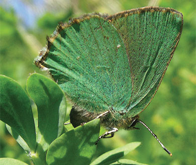 Ovipositing Green Hairstreak first recorded at The Butterfly Haven in 2010