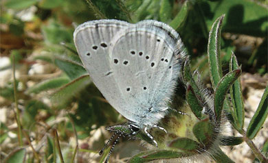 Small Blue, first recorded here in 2009 and one of the commonest butterflies in 2010
