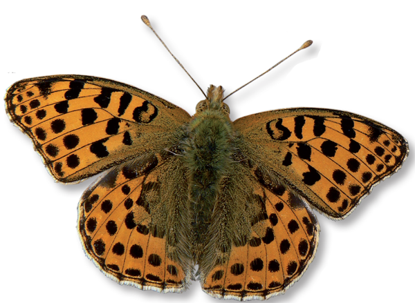 The Queen of Spain Fritillary