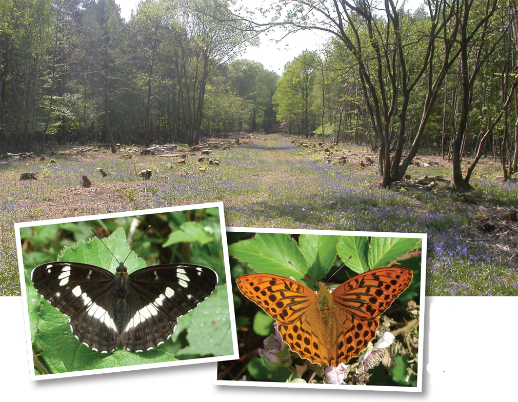 T>White Admiral and Silverwashed Fritillary, can already be seen throughout the wood