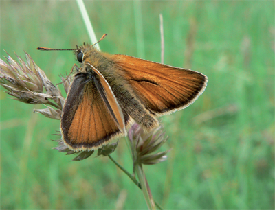 Small Skipper, male Photo: Neil Hulme