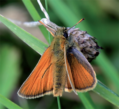 Small Skipper, male, Malling Down