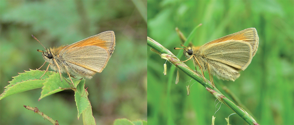 Small Skipper, female (left) & Essex Skipper, female Both Photos: Vince Massimo