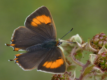 Brown Hairstreak (Neil Hulme)