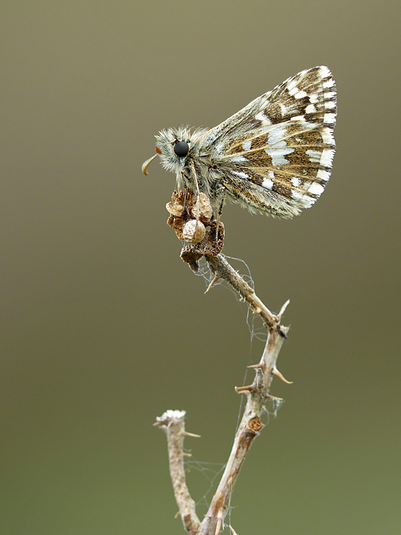 Grizzled Skipper, Hill Hill (Neil Hulme)